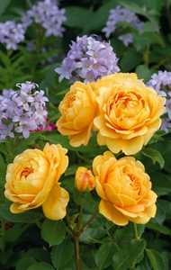 David Austin roses mixed borders