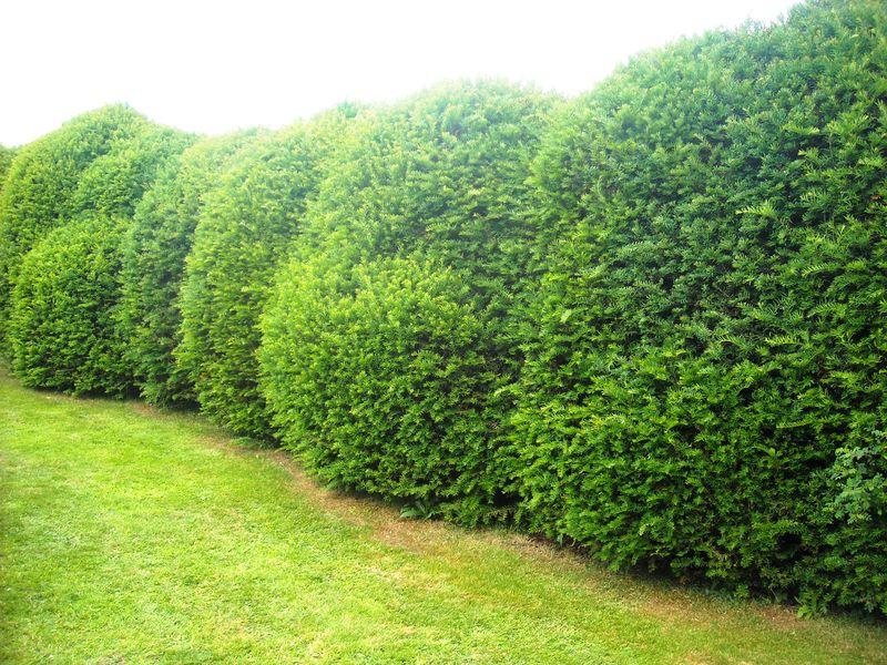 Yew Hedge TSS