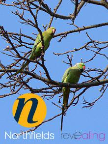 1-parakeet-Northfields-in-Ealing