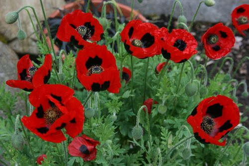 Ladybird Poppies - Papaver commutatum-Increase your kerb appeal with these buyer-attracting plants