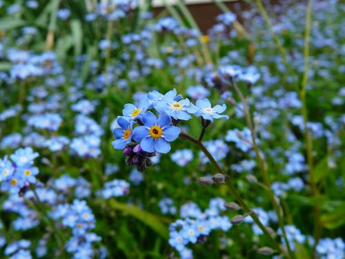 Forget-me-not--Increase your kerb appeal with these buyer-attracting plants