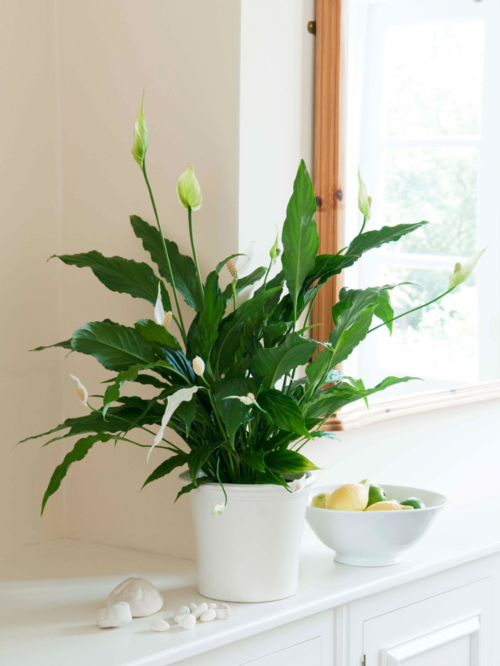Air clearning Houseplants Peace Lily