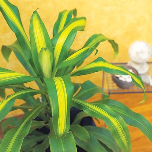 Best low maintenance houseplants corn plant