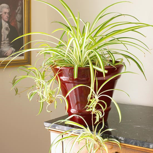 All rounder house plant spider plant